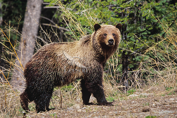 Grizzly Bear, Northern Rockies, Spring.