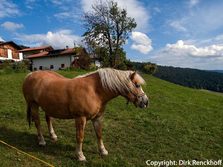 Haflinger Pferd bei Vöran, Region Südtirol-Bozen Italien, Europa<br /> Haflinger horse near Vöran, Region South Tyrol-Bolzano, Italy, Europe