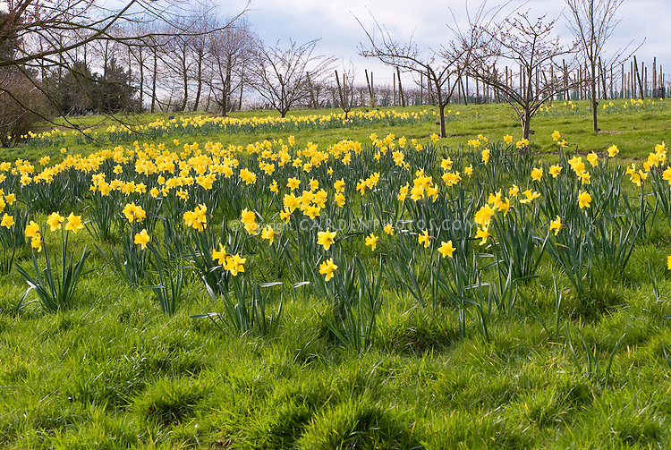 Narcissus 'Unsurpassable' daffodils naturalized in masses of yellow flowers in a field with blue sky and clouds, wide view