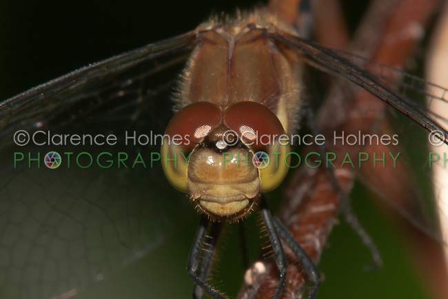 Cherry-faced Meadowhawk (Sympetrum internum) Dragonfly - Female close-up view of head and face, West Harrison, Westchester County, New York