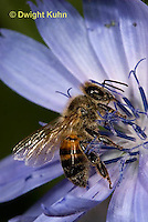 1B01-503z  Honeybee about to fly from flower, 4 wings spreading for flight, Apis mellifera