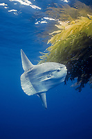 Ocean sunfish recruiting fish near drift kelp to clean parasites, open ocean, Baja California, Mola mola, Mexico, East Pacific Ocean
