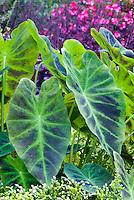 Colocasia esculenta 'Illustris' Imperial Taro elephant ears summer bulb