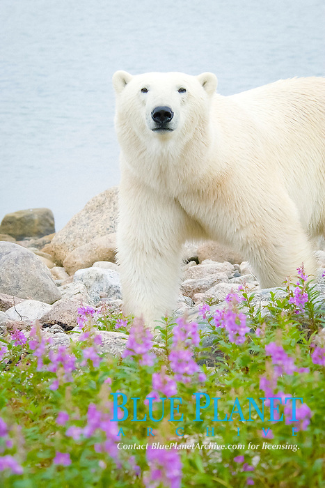 polar bear, Ursus maritimus, approaching with caution in fireweed, Epilobium angustifolium, on sub-arctic island at Hubbart Point, Hudson Bay, near Churchill, Manitoba, northern Canada, polar bear, Ursus maritimus