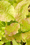 Close-up of summer lettuce.