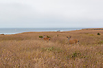 Two young blacktail deer stare from cover at Jug Handle State Reserve along the Mendocino Coast.  Jug Handle State Natureal Reserve is best known for its unique Ecological Terrace where tectonic plate acitivity is seen.   Famous California State Highway 1 hugs the Pacific Ocean Coast along the Mendocino Coast from Fort Bragg, California south past the village of Mendocino to the famous Golden Gate.  This stunning coastline is often skipped by coastal drivers preferring the straight route along U.S. 101.