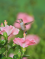 Rufous Hummingbird (Selasphorus rufus), young male on blooming Hibiscus flower, Hill Country, Texas, USA