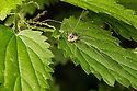 Harvestman {Mitopus morio} male hunting on nettles. Strumpshaw Fen, Norfolk, UK. September.