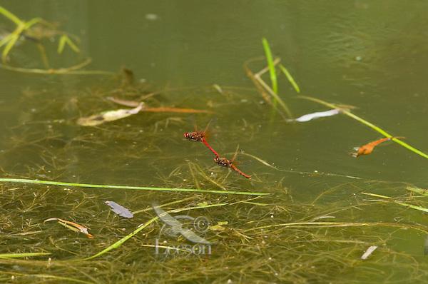 Cardinal Meadowhawks (Sympetrum illotum) mating.  Pacific Northwest.