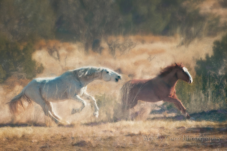 Wild mustang stallion chasing mare through field, New Mexico