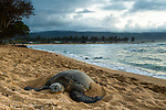 Green Sea Turtle (Chelonia mydas) resting on beach at sunset, Haleʻiwa Aliʻi Beach Park, Haleiwa, North Shore, Oahu, Hawaii