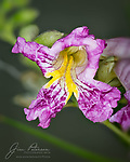 Desert Willow Blossom.  This blooming tree is found across a wide swath of the Desert Southwest, and is also often planted as a landscape shrub.  Their flowers have been particularly prolific this spring (2020) around Sedona, and this one was happy to pose for my new macro lens.<br /> <br /> Image ©2020 James D. Peterson