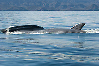 Fin whale (balaenoptera physalus) A fin whale feeding at the surface shows its distended pleating. Gulf of California., Baja California, Mexico, Pacific Ocean