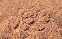 Dingo tracks in Cape Range National Park.