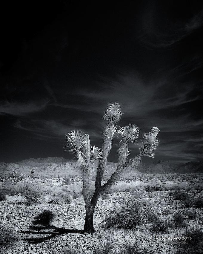 Joshua Tree near Hualapai Mountains, Arizona