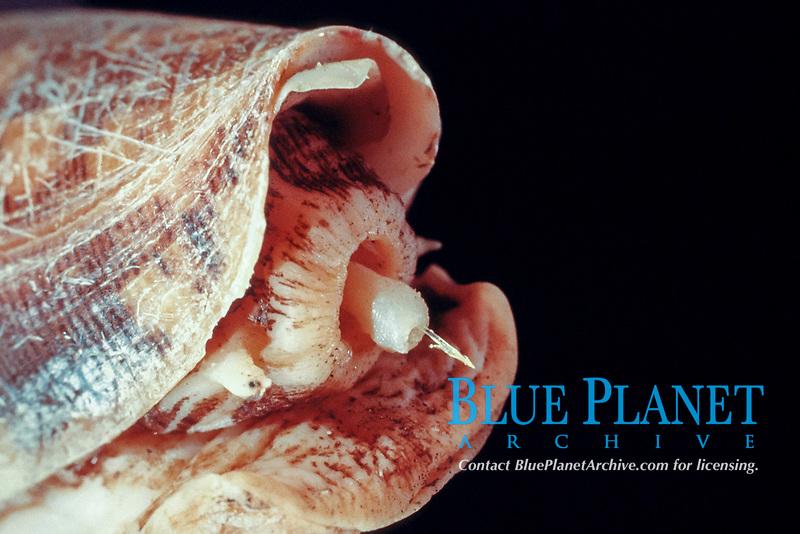 striated cone snail, Conus striatus, showing radula tooth and harpoon