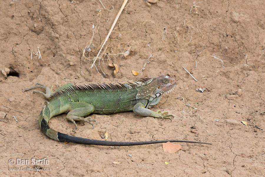 Green Iguana, Iguana iguana, on the bank of the Tarcoles River, Costa Rica