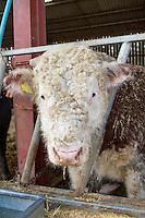 Cattle in straw yard - Norfolk, March