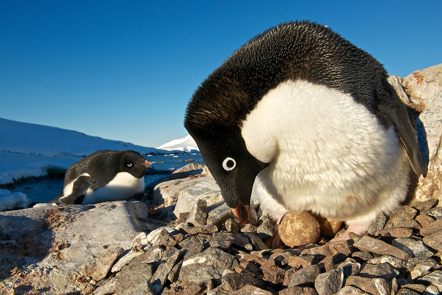 An Adélie penguin shifts its eggs on its nest on Peterman Island, Antarctic Peninsula.