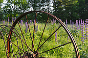 Old hay rake in a field during the Lupine Festival in Sugar Hill, New Hampshire. The lupine festival is an annual event.