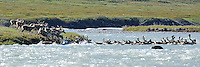 A group of caribou, members of the Porcupine Caribou herd, swims across the Hulahula River in Alaska's Arctic National Wildlife Refuge on a summer day.