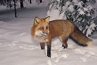 Red fox, Vulpes fulva, stops to look up, after hunting in deep fresh snow and has a nose full of snow