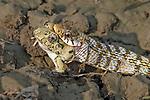 Snake eats frog by Arindam Saha