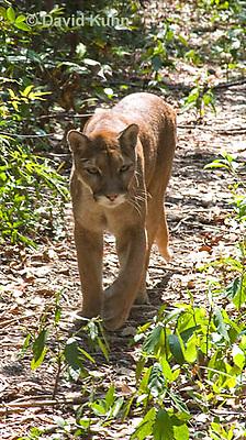0525-1101  Costa Rican Cougar (Puma), Belize, Puma concolor costaricensis  © David Kuhn/Dwight Kuhn Photography