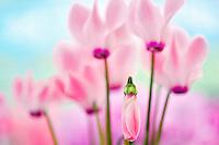 Pink Cyclaman flowers. Al's Nursery. Woodburn, Oregon