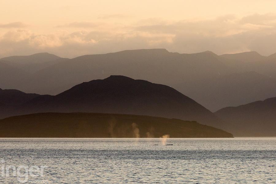 Northern Humpback Whales taking a breath near Yttygran, eastern Russia