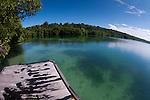 A brackish lake full of stingless jellyfish, Jellyfish Lake, Kakaban Island, Berau, Kalimantan, Borneo, Indonesia, Pacific Ocean
