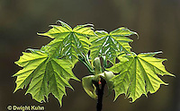 LF15-001f  Norway Maple - new leaves, spring - Acer platanoides