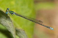 Sedge Sprite (Nehalennia irene) Damselfly - Male, Pharaoh Lake Wilderness Area, Ticonderoga, Essex County, New York