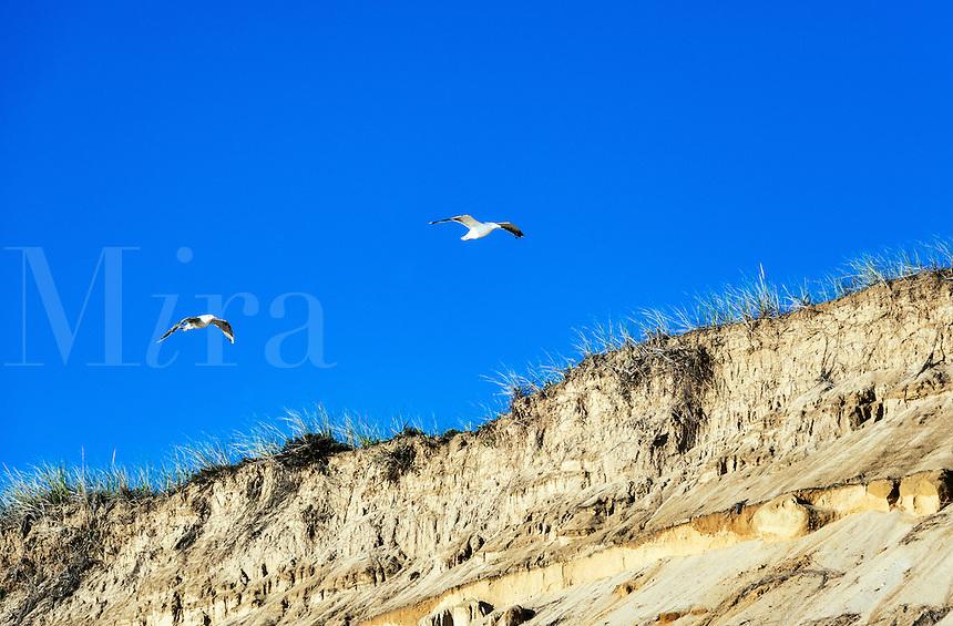 Seagulls soar over steep dune cliffs, Cape Cod National Seashore, Massachusetts, USA