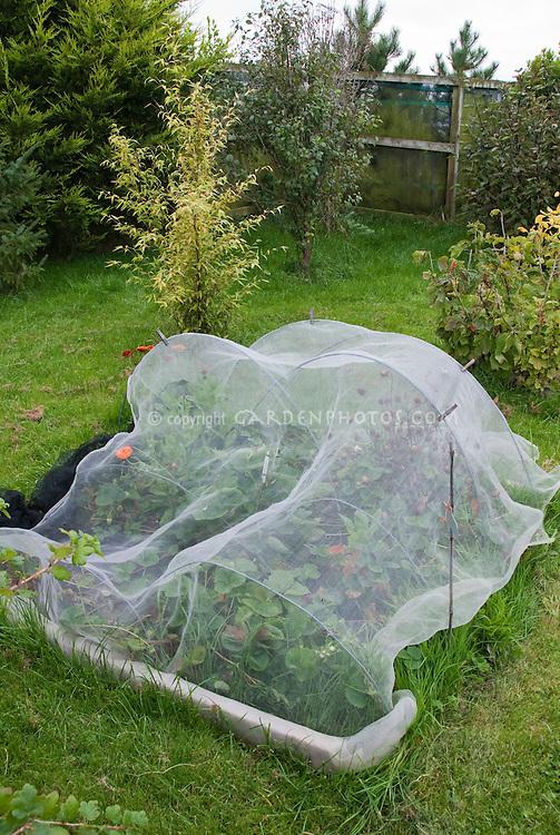 Protecting plants strawberries from birds and animals with netting arbor, in Joy Larkcom's garden, Ireland