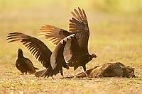 Turkey Vultures feeding on a pig, Cathartes aura