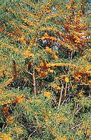 Sanddorn, Sand-Dorn, Früchte, Hippophae rhamnoides, Buckthorn