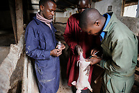 KENYA Limuru, Tigoni, animal husbandry, pig breeding, veterinary service, vaccination for a piglet