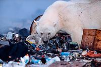 young male polar bear, Ursus maritimus, foraging in the dump near Churchill, Manitoba, Canada, polar bear, Ursus maritimus