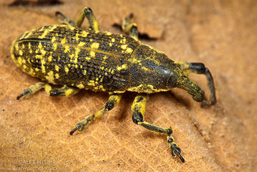Tropical weevil {Curculionidae}, tropical rainforest, Mantadia NP, Madagascar
