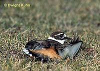 1K05-004z  Killdeer - adult broken wing act - Charadrius vociferus