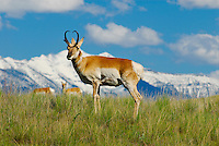 Pronghorn antelope at the National Bison Range in Montana