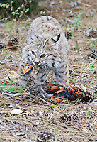 Bobcat with mouth full of feathers. - CA