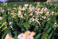 Tabak, Virginischer Tabak, Taback, Nikotin, Anbau auf einem Feld, Nicotiana tabacum, common tobacco, Tabac