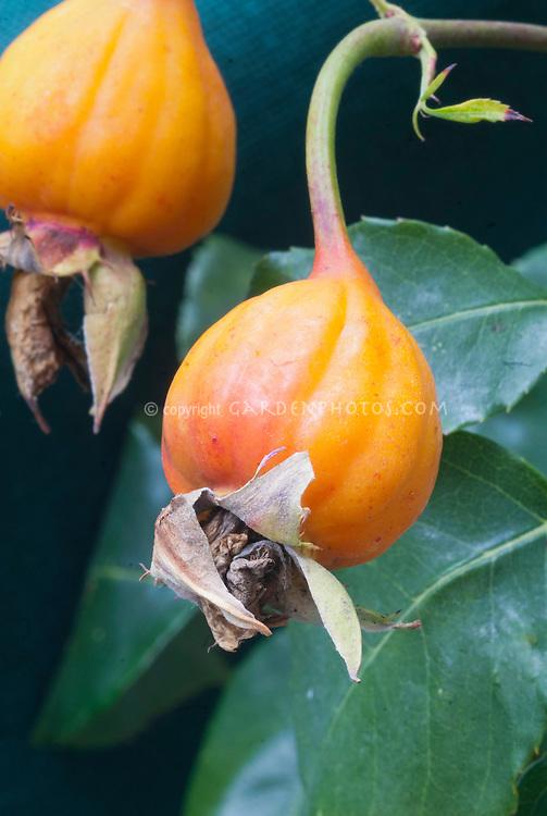 Rosa 'Danse du Feu' (ClF) rosehips climbing floribunda with pretty ornamental yellow orange red hips