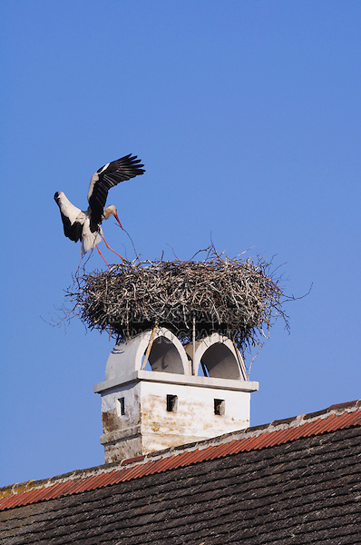 White Stork, Ciconia ciconia, adult landing on nest on chimney,Rust, National Park Lake Neusiedl, Burgenland, Austria, April 2007