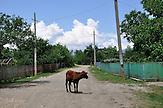 Rind blockiert die Dorfstraße in Maglaki - dem größten Bauerndorf in Georgien. / Cow blocking street in farmer village Maglaki.