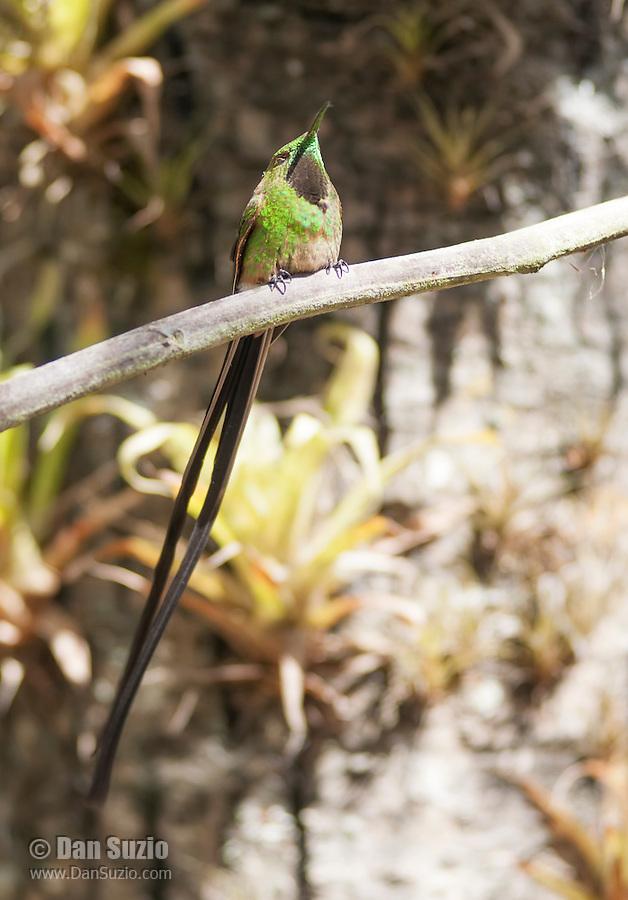 Male black-tailed trainbearer hummingbird, Lesbia victoriae, perched on a branch near Quito, Ecuador