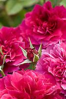 'Prospero' red David Austin (English) shrub rose flower at Heather Farms organic garden