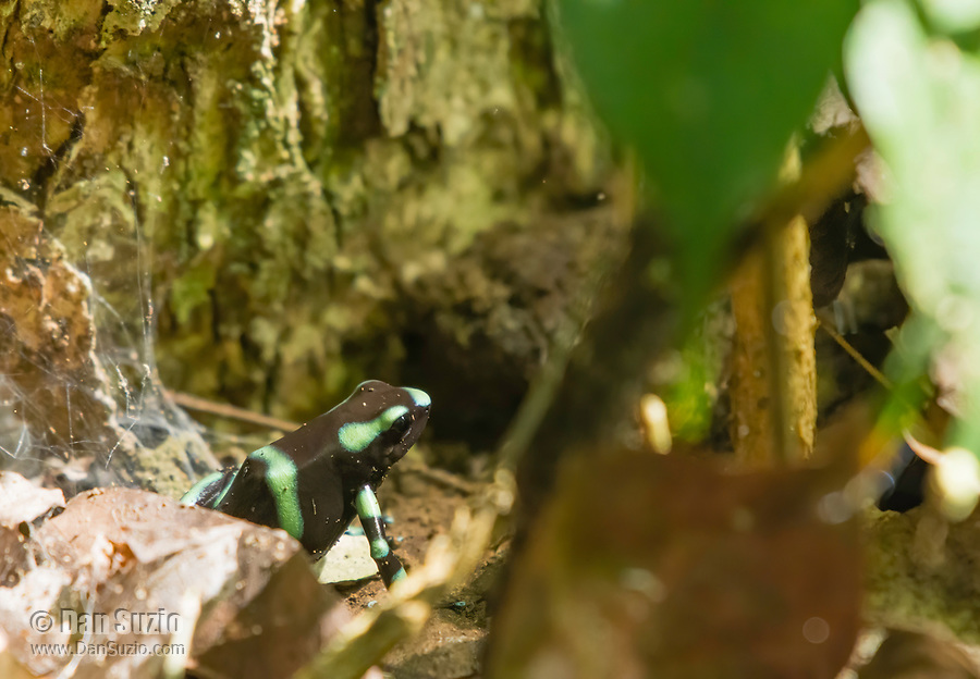 Green-and-black Poison Dart Frog (Poison Arrow Frog), Dendrobates auratus, in Carara National Park, Costa Rica